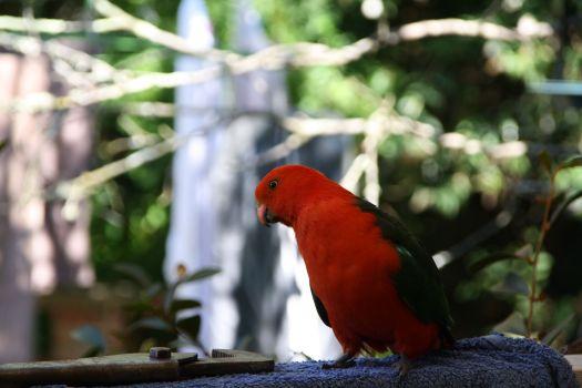 King Parrot bye