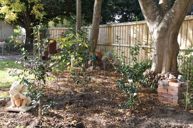 Camellias side garden