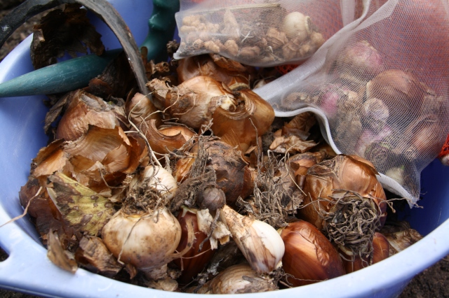 Bulbs to plant