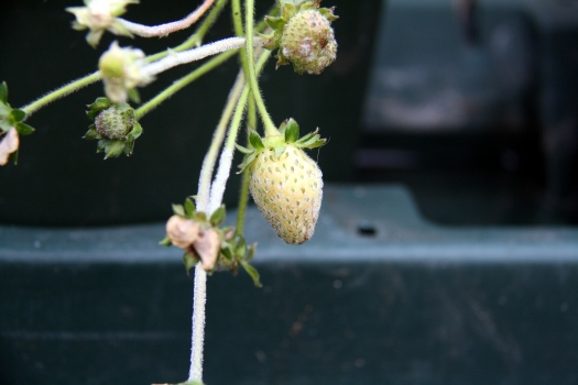 Strawbs mildew