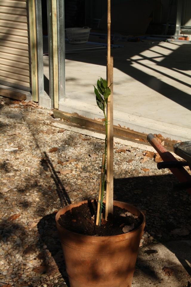 Bay tree formative shaping