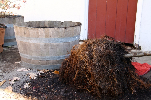 Apple tree root ball trimmed, ready to transplant