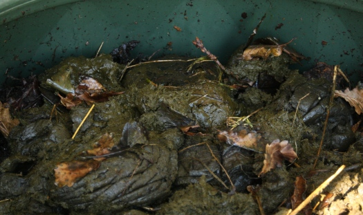 Cow poo in compost