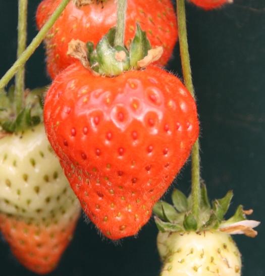 Strawberries back on track