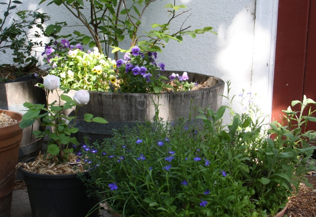 Pansies, lobelia, herbs and SLMM rose in bud.