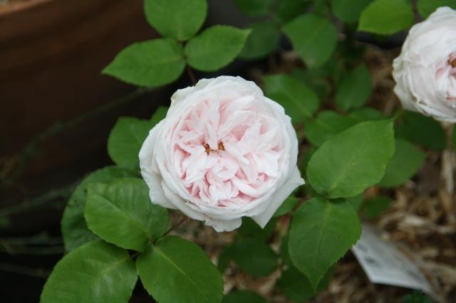 Souvenir de la Mel Maison rose