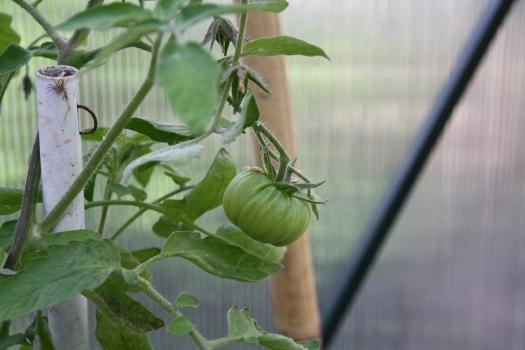 1st Tomato
