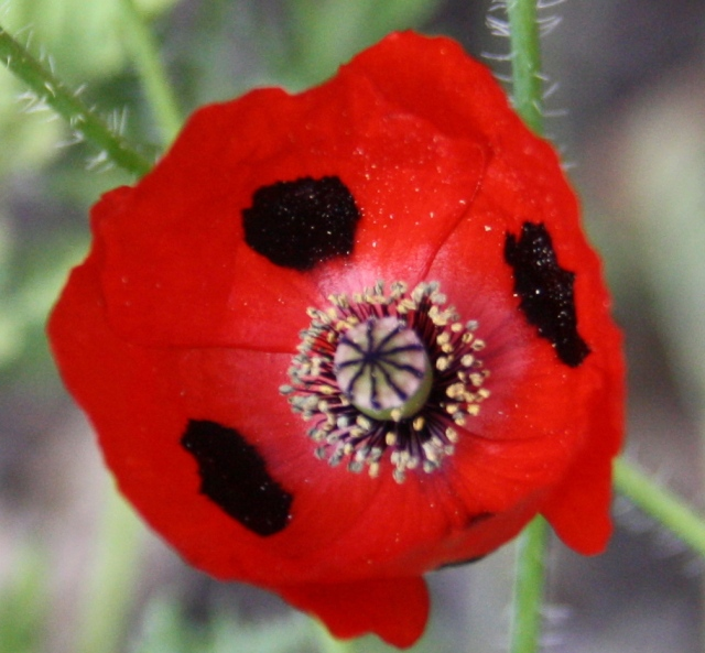 Poppy pollen