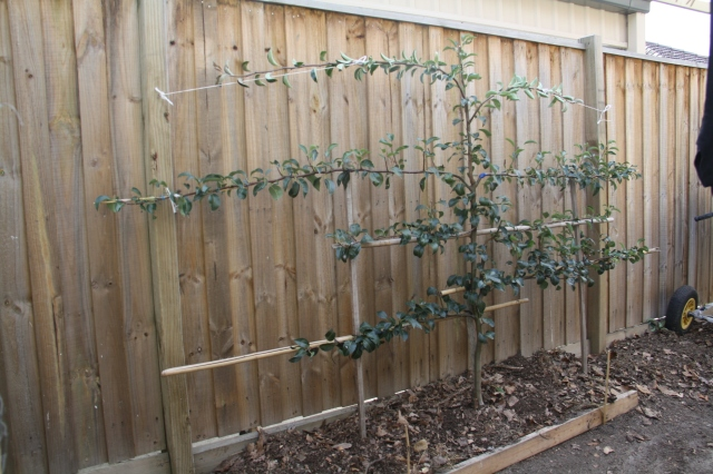 Espalier Pear March 2014