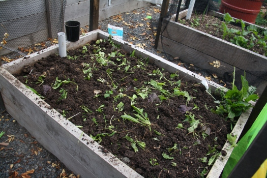 Green Manure slashed and turned in