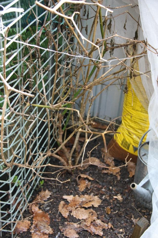 Rocoto chilli frost damage