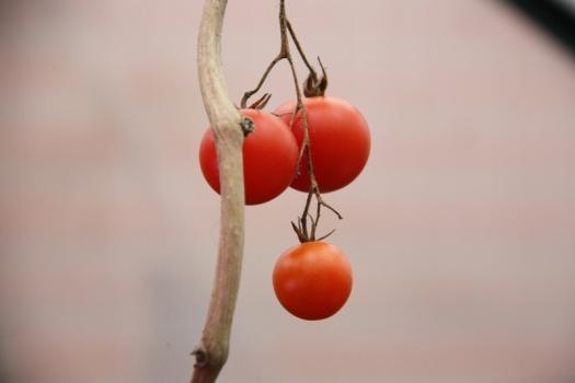 Money Maker tomatoes