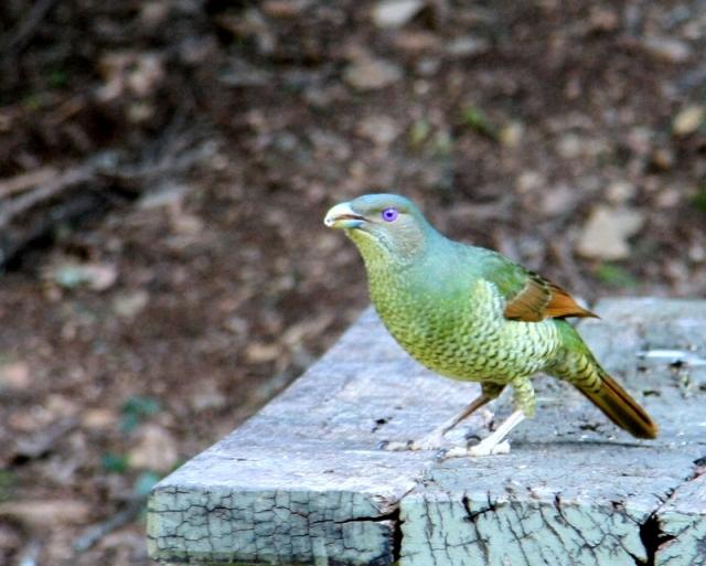 Saton bowerbird
