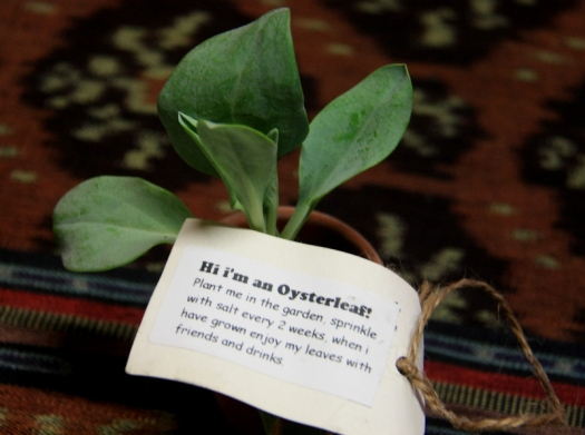 Oyster leaf plant.