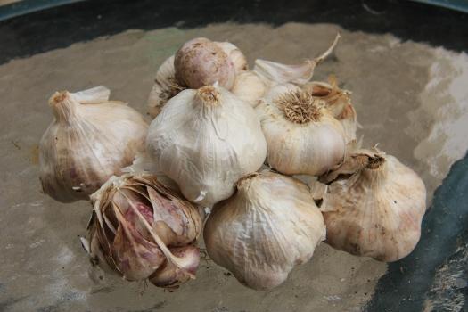 Garlic for planting
