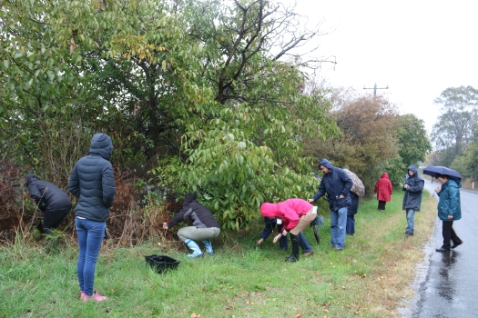 Collecting walnuts, foraging