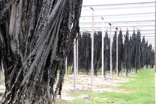 Kelp harvest curing