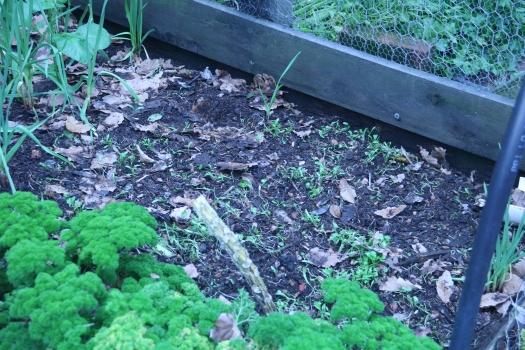 coriander growing