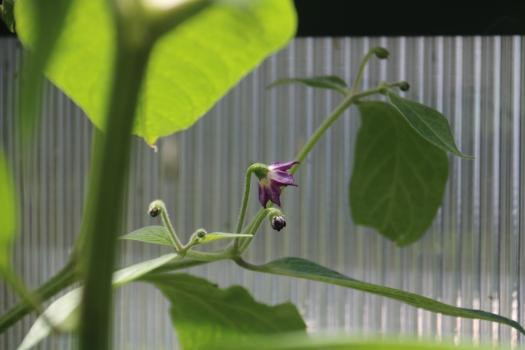 Rocoto flower